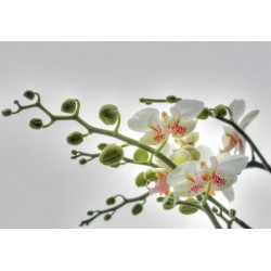 Fototapeta 1-608 Orchidee Komar